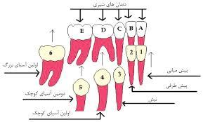 دندان شماره 6